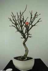 Bonsai Hall crab apple, Malus halliana, no. 6609