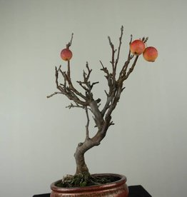 Bonsai Malus halliana, no. 6612