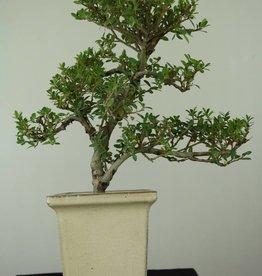 Bonsai Ilexcrenata, no. 6720