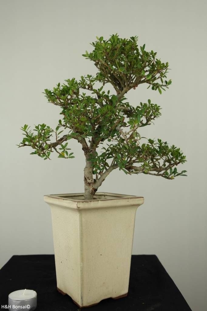 Bonsai Japanese Holly, Ilex crenata, no. 6720