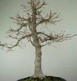Bonsai Acer palmatum, no. 6784