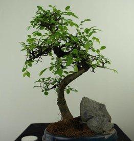 Bonsai Ulmus,Olmo chino, piedra, no. 7331