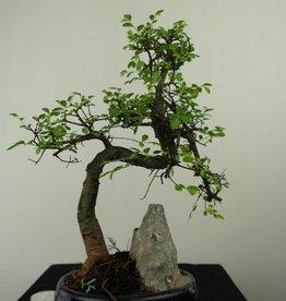 Bonsai Chinese Elm with rock, Ulmus, no. 7334