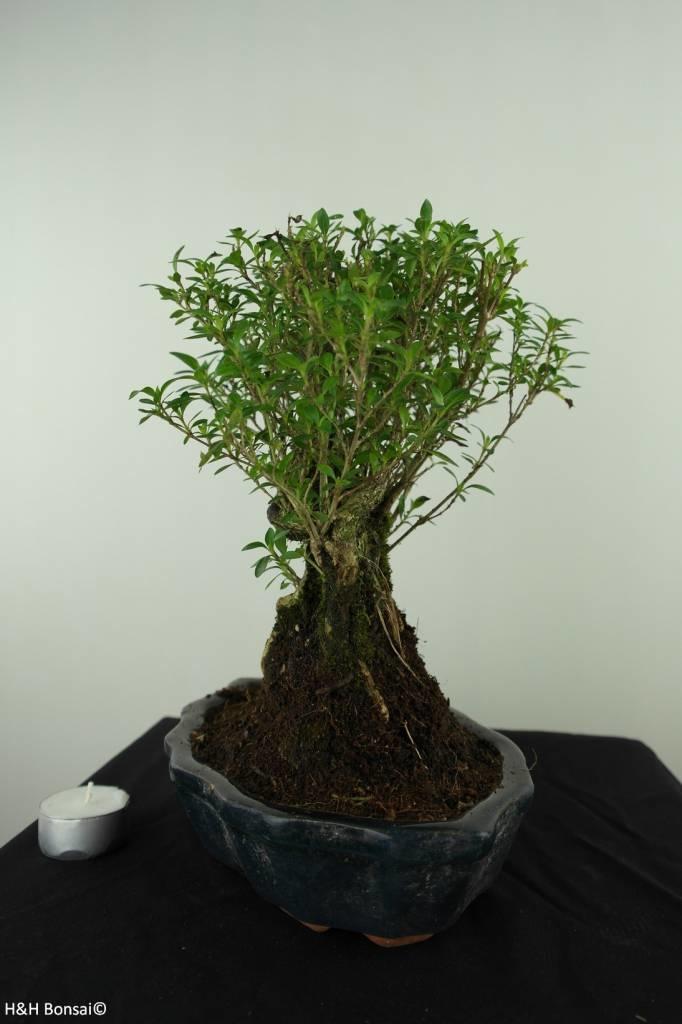 Bonsai Snow Rose, Serissa foetida, no. 7450