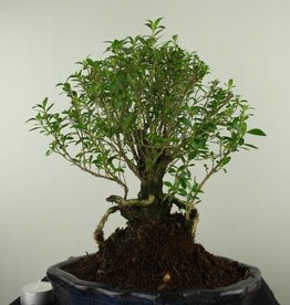 Bonsai Serissa foetida, no. 7453