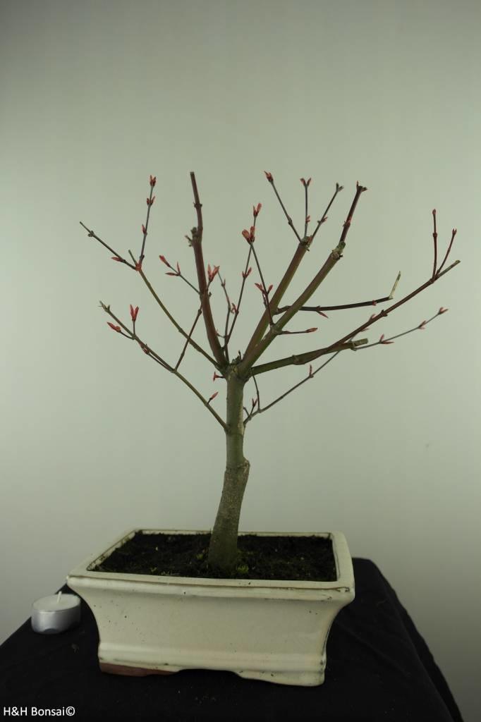 Bonsai Japanese Red Maple, Acer palmatum deshojo, no. 7456