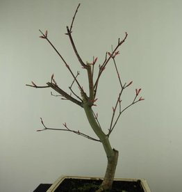 Bonsai Acer palmatum deshojo, Arce deshojo, no. 7459