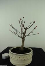 Bonsai Acer palmatum deshojo, Arce deshojo, no. 7469