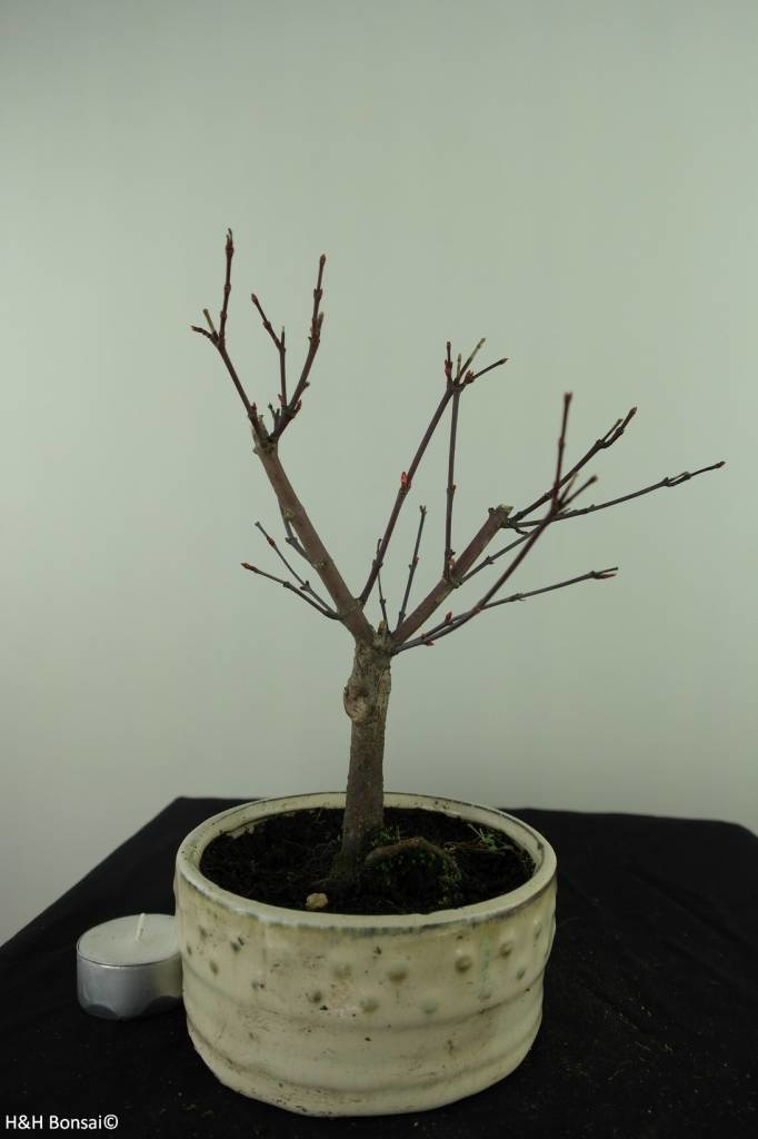 Bonsai Japanese Red Maple, Acer palmatum deshojo, no. 7471