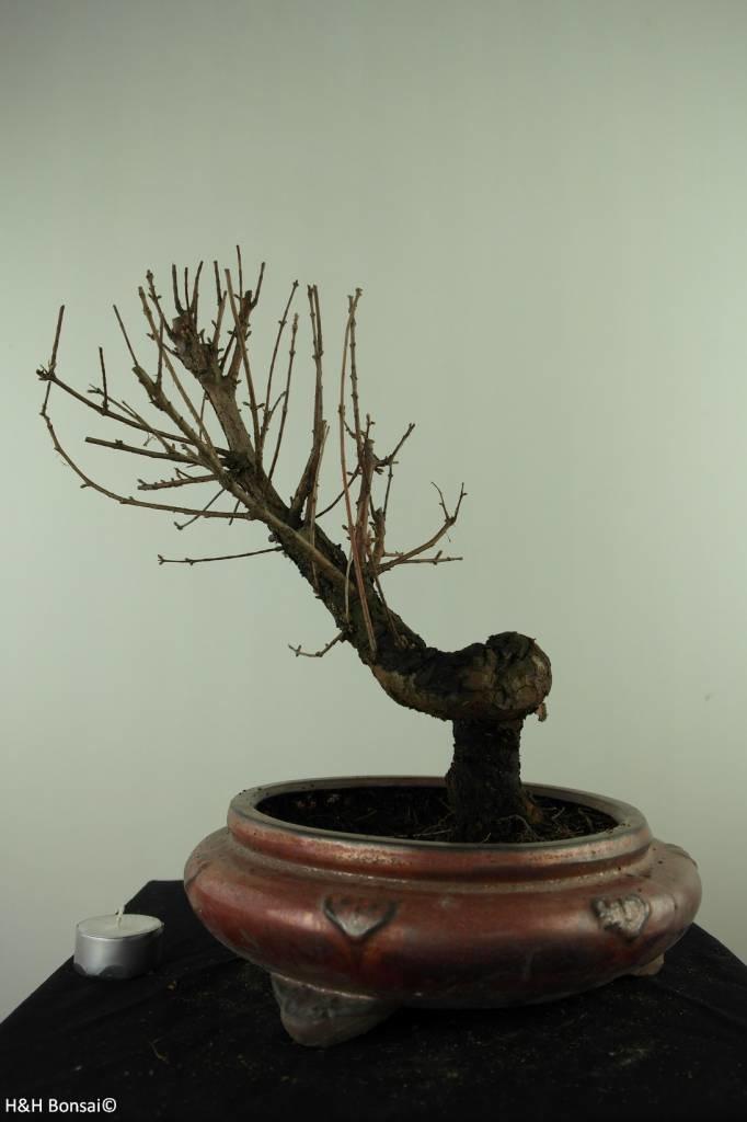 Bonsai Dawn Redwood, Metasequoia, no. 7482
