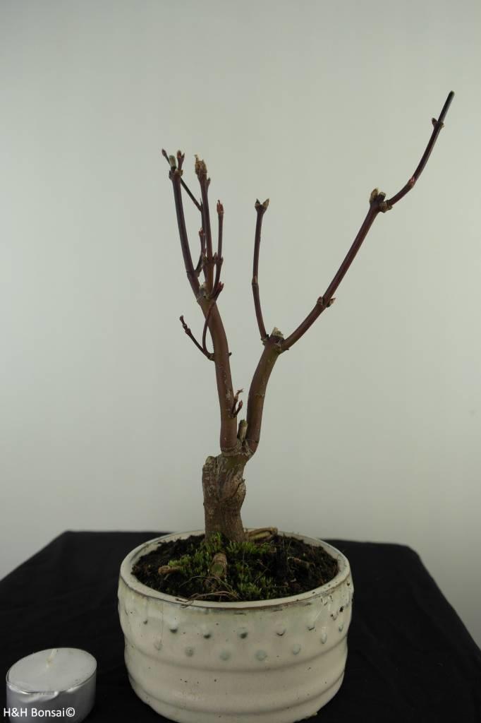 Bonsai Japanese Maple, Acer palmatum Atropurpureum, no. 7483