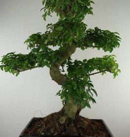 Bonsai Ligustrum nitida, no. 7498