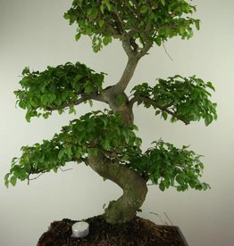 Bonsai Ligustrum nitida, no. 7500