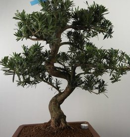 Bonsai Podocarpus, no. 7501