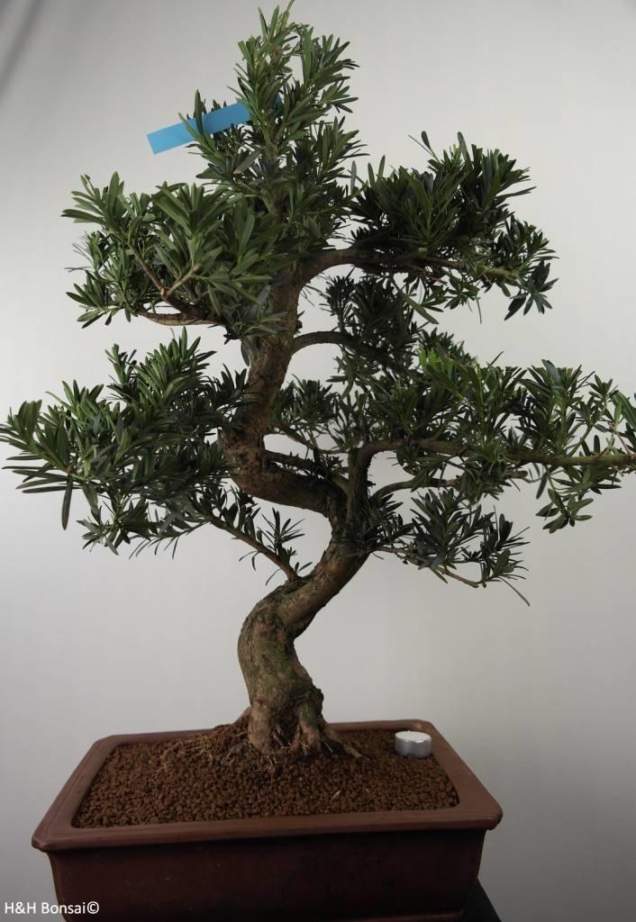 Bonsai Podocarpus, no. 7501