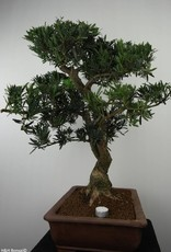 Bonsai Buddhist Pine, Podocarpus, no. 7501