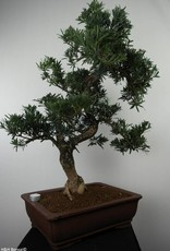 Bonsai Podocarpus, no. 7502