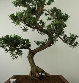 Bonsai Podocarpus, no. 7504