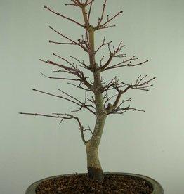 Bonsai Japanese Red Maple, Acer Palmatum deshojo, no. 7505