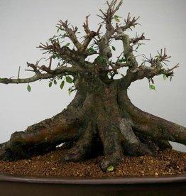 Bonsai Chinese Elm, Ulmus, no. 7509