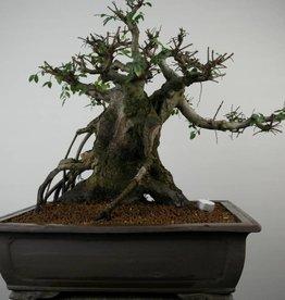 Bonsai Ulmus,Olmo chino, no. 7510