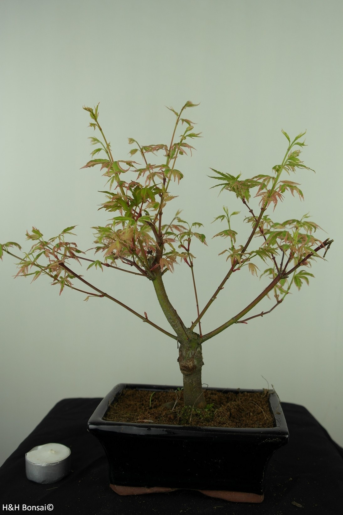 Bonsai Japanese maple Batafurai, Butterfly, no. 7548