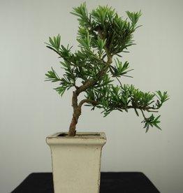 Bonsai Podocarpus, no. 7596