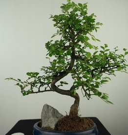 Bonsai Ulmus,Olmo chino, piedra, no. 7611