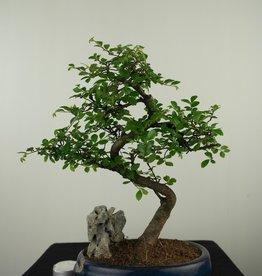 Bonsai Ulmus,Olmo chino, piedra, no. 7615