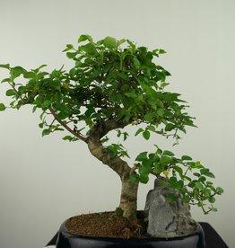 Bonsai Ligustrum nitida, no. 7634
