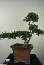 Bonsai Ilex crenata, no. 7746