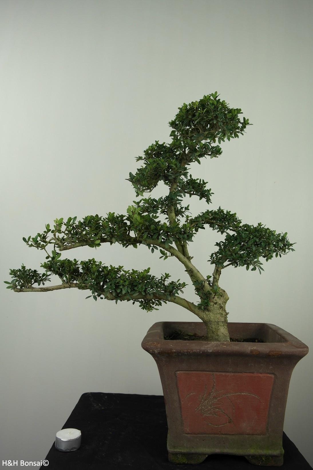 Bonsai Ilex crenata, no. 7747