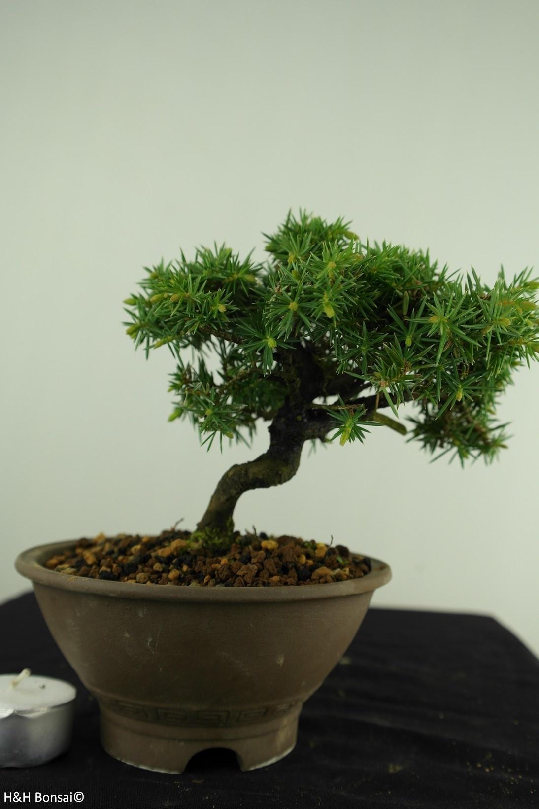 Bonsai Shohin Needle Juniper, Juniperus regida, no. 7787