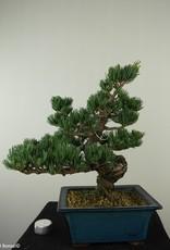 Bonsai Pinus pentaphylla, no. 7811