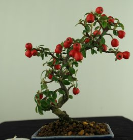Bonsai Shohin Cotoneaster, no. 7786