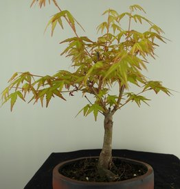 Bonsai Acer palmatum Orange Dream, no. 7383