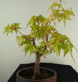 Bonsai Acer palmatum Orange Dream, Arce japones, no. 7461