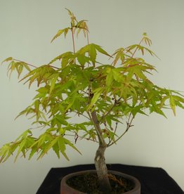Bonsai Acer palmatum Orange Dream, Arce japones, no. 7463