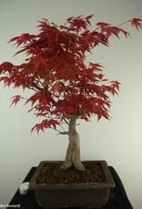 Bonsai Acer palmatum deshojo,Arce palmatum deshojo, no. 7650