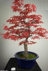 Bonsai Arce deshojo japones, Acer palmatum deshojo, no. 6816
