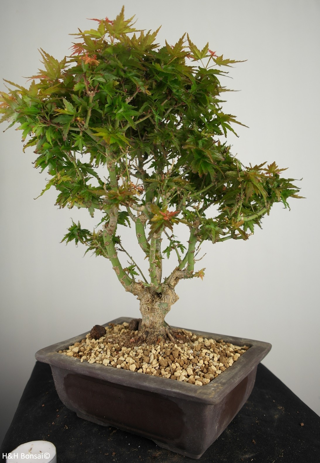 Bonsai Arce palmatum Kotohime, Acer palmatum Kotohime, no. 7694