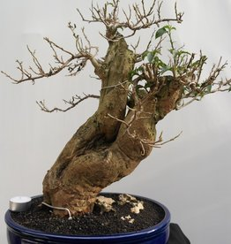 Bonsai Bougainvillea glabra, no. 7817