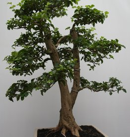 Bonsai Ligustrum sinense, no. 7827
