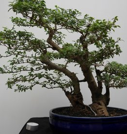 Bonsai Ligustrum sinense, no. 7828
