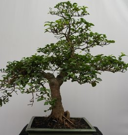 Bonsai Ligustrum sinense, no. 7831