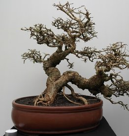 Bonsai Tamarinde, no. 7833