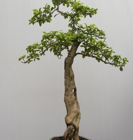 Bonsai Duranta, no. 7836