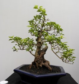Bonsai Duranta, no. 7838