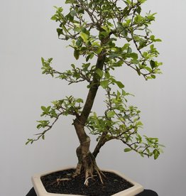 Bonsai Duranta, no. 7839