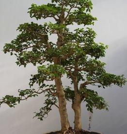 Bonsai Ligustrumsinense, no. 7841